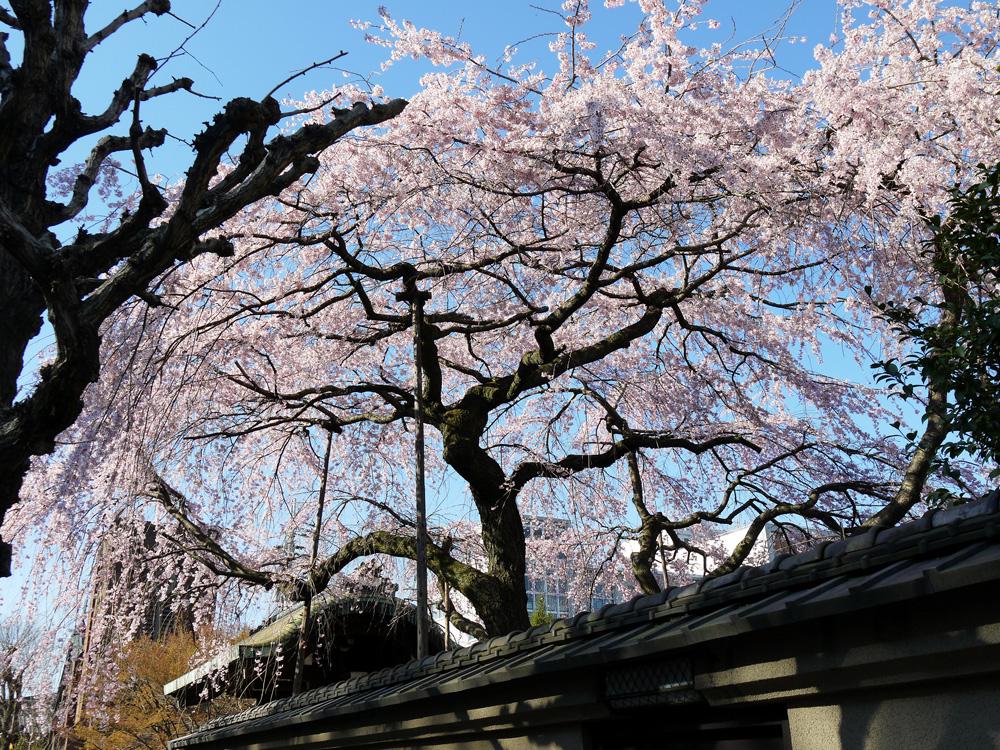 旧有栖川邸の枝垂桜の写真素材