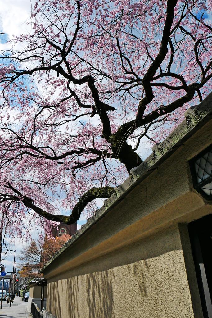 有栖館(有栖川宮旧邸)の桜の写真素材