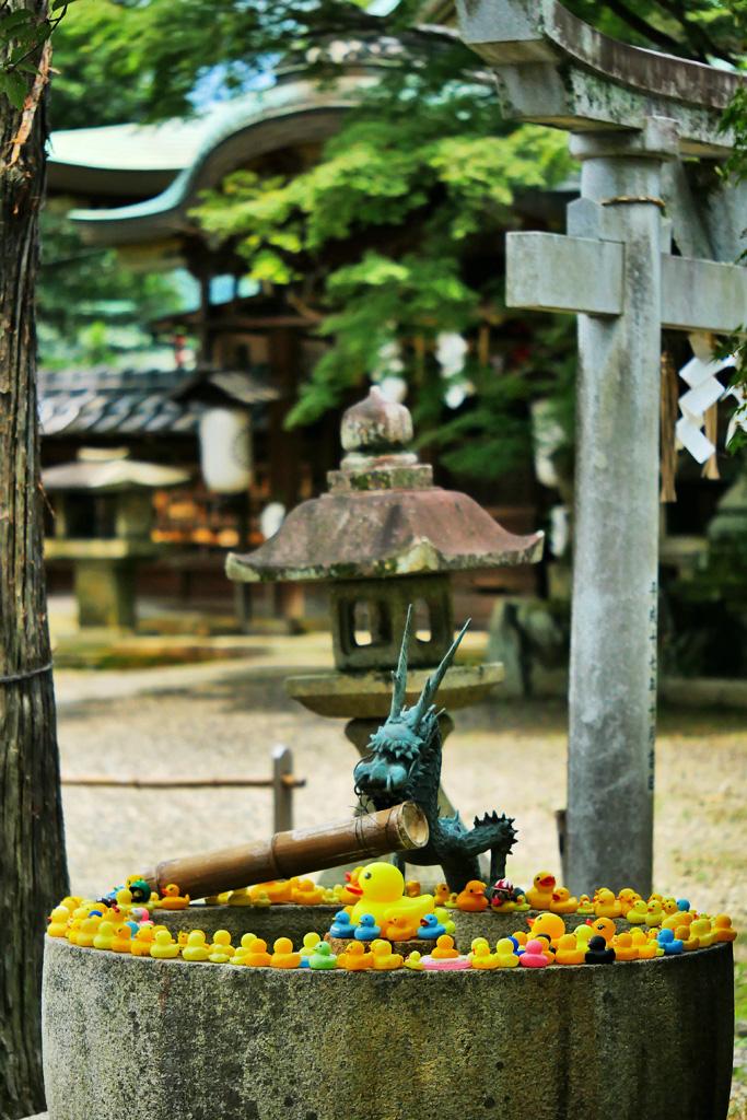 粟田神社のアヒル手水写真素材