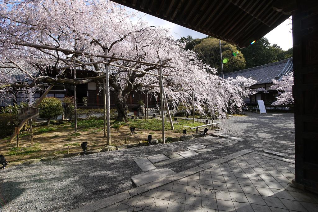 毘沙門堂の桜の写真素材