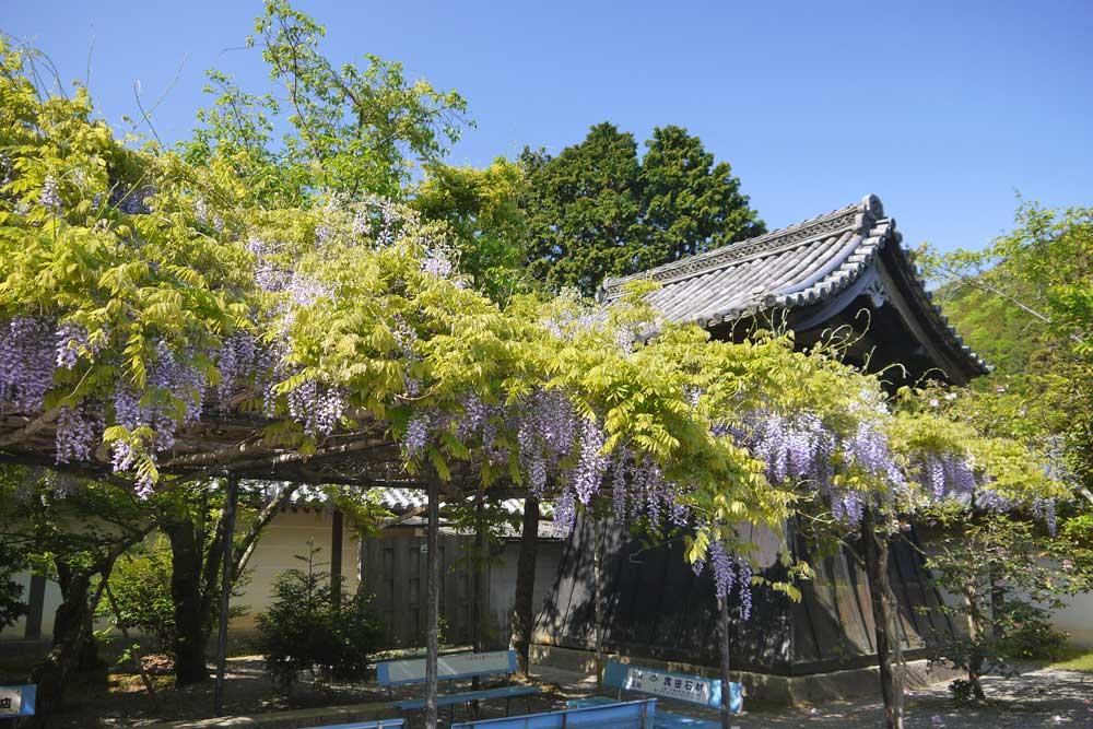 山科毘沙門堂の藤の写真素材