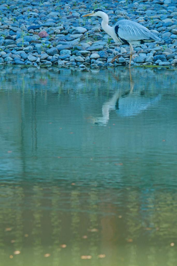 円山公園のサギの写真素材