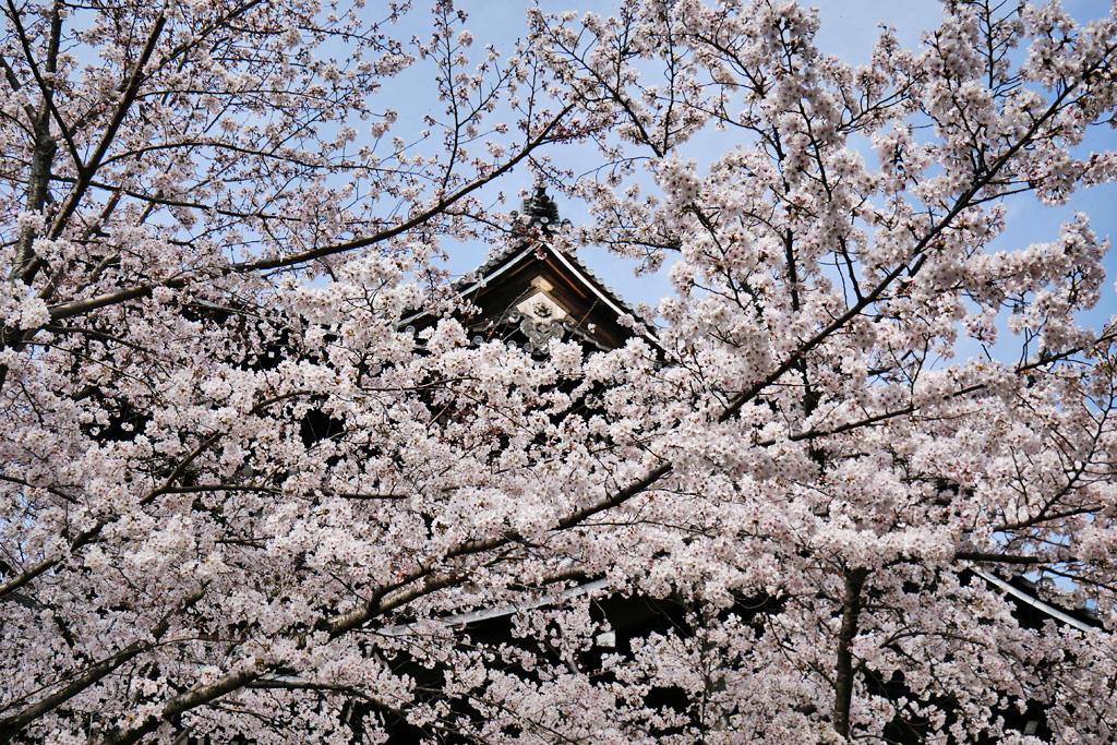 知恩院の桜 写真素材
