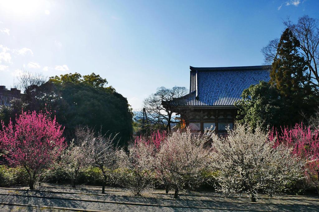 智積院の梅の写真素材