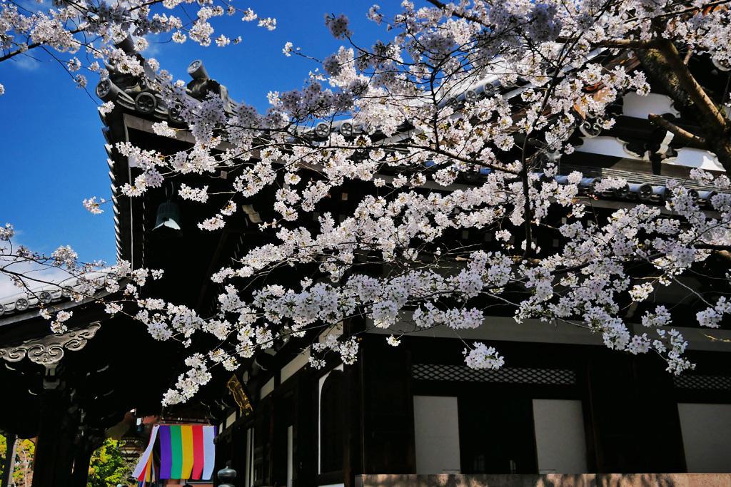 智積院の桜の写真素材