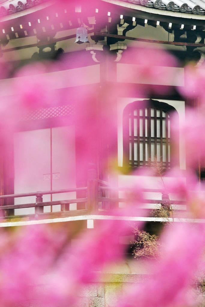 智積院のハナモモの写真素材
