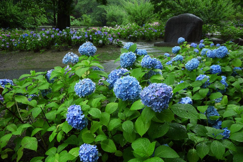 智積院の紫陽花の写真素材