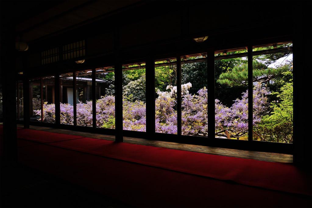 妙心寺 長慶院の藤の花の写真素材