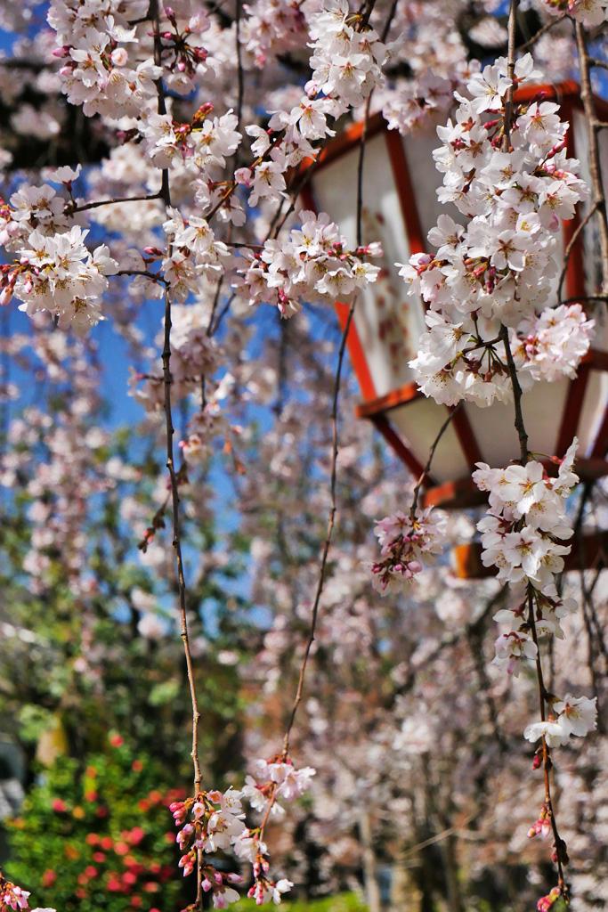 長建寺の枝垂桜の写真素材