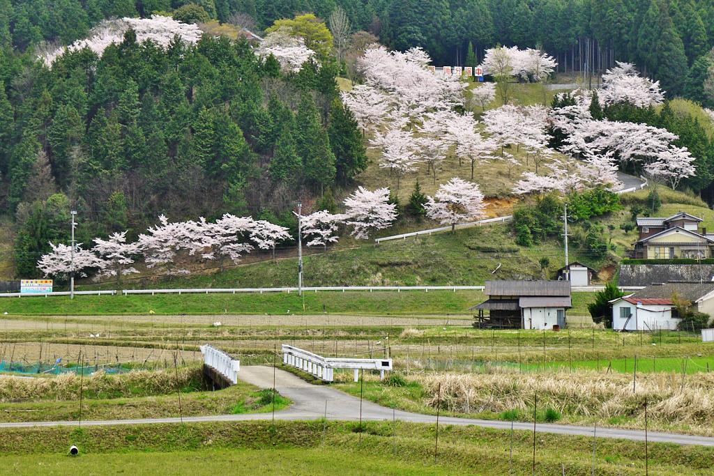 大圓寺の桜の写真素材