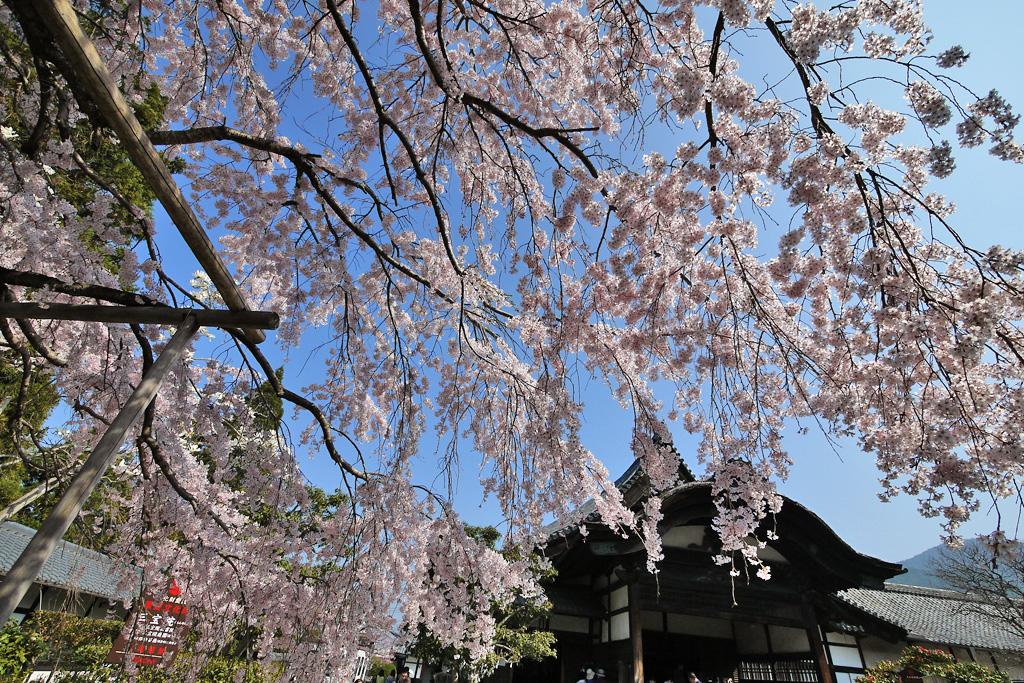 醍醐寺土牛の桜の写真素材
