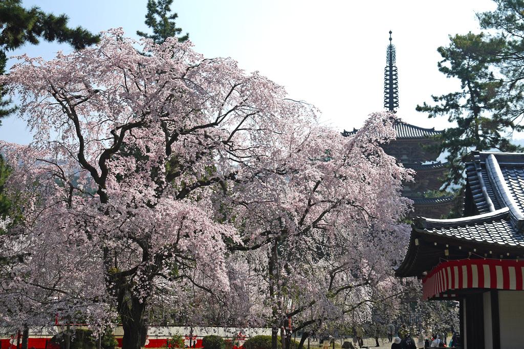 醍醐寺五重塔と桜の写真素材