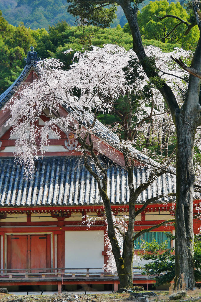 醍醐寺 桜の写真素材