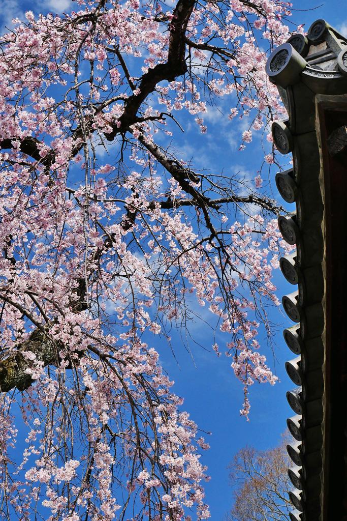 桜 醍醐寺五重塔の写真素材