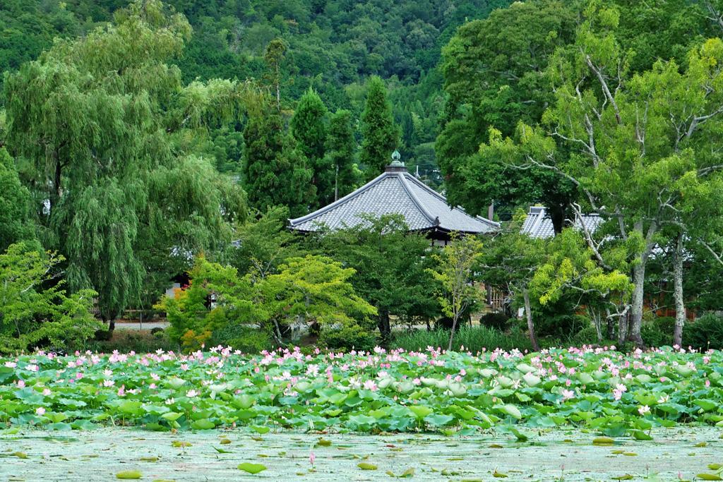 大沢池の蓮の写真素材