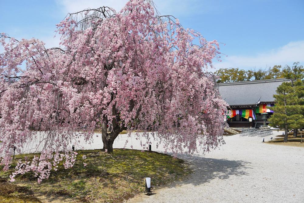 大覚寺の桜の写真素材