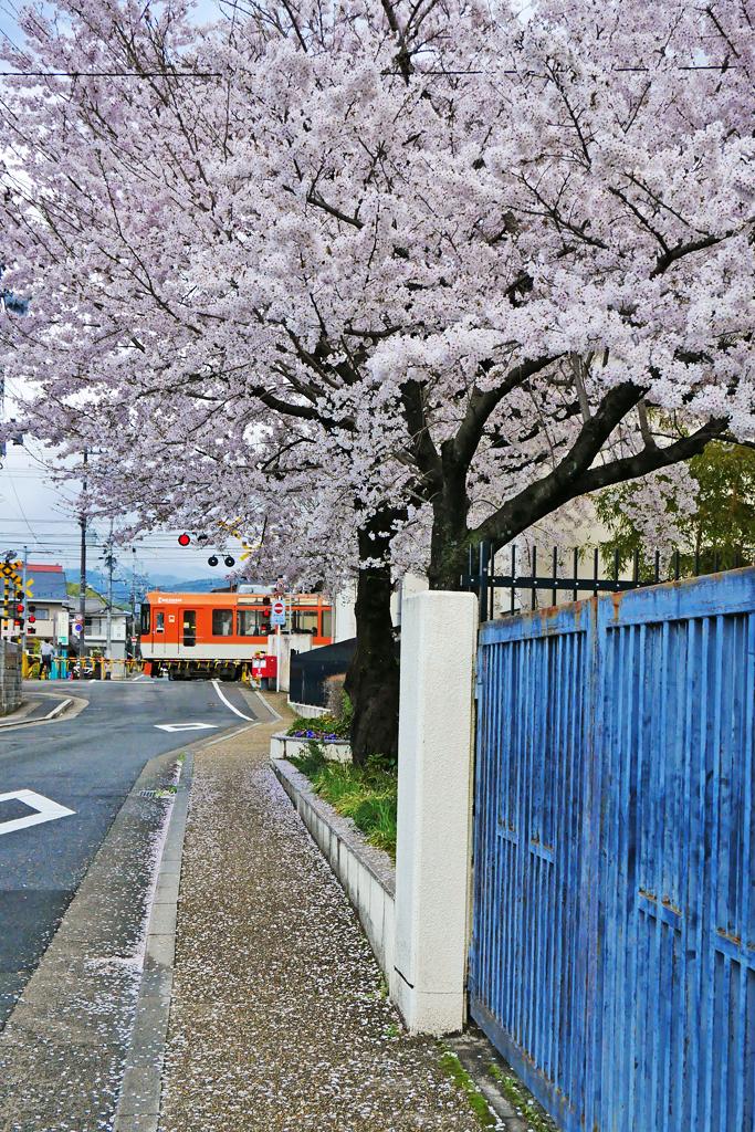叡電の桜の写真素材
