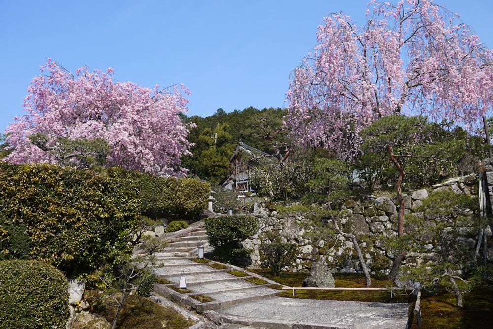 圓光寺の桜の写真素材