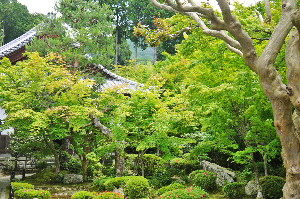 圓光寺の青もみじの写真素材