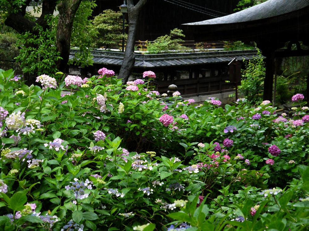 藤森神社のあじさい