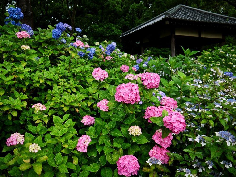 藤森神社のあじさいの写真素材