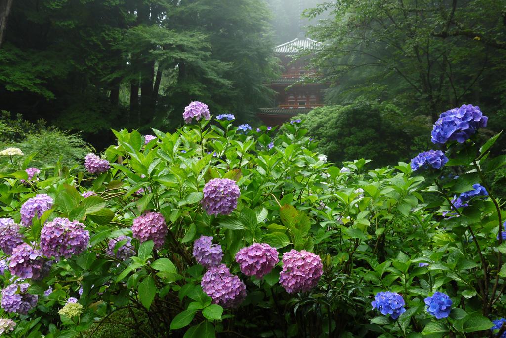 岩船寺の紫陽花