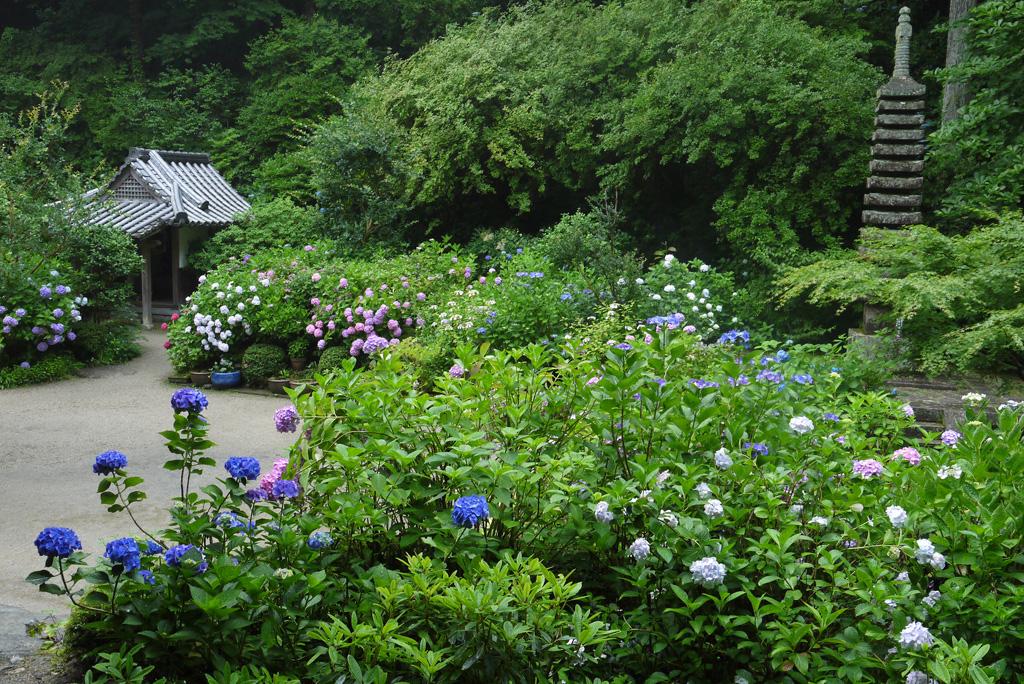 岩船寺の紫陽花の写真素材