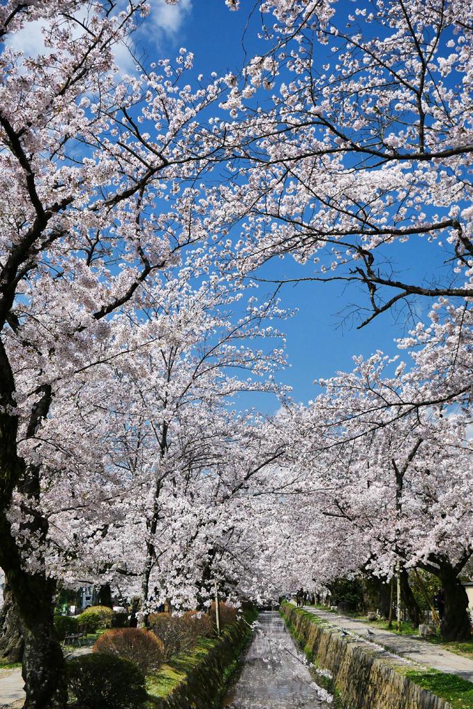 桜の銀閣寺道の写真素材
