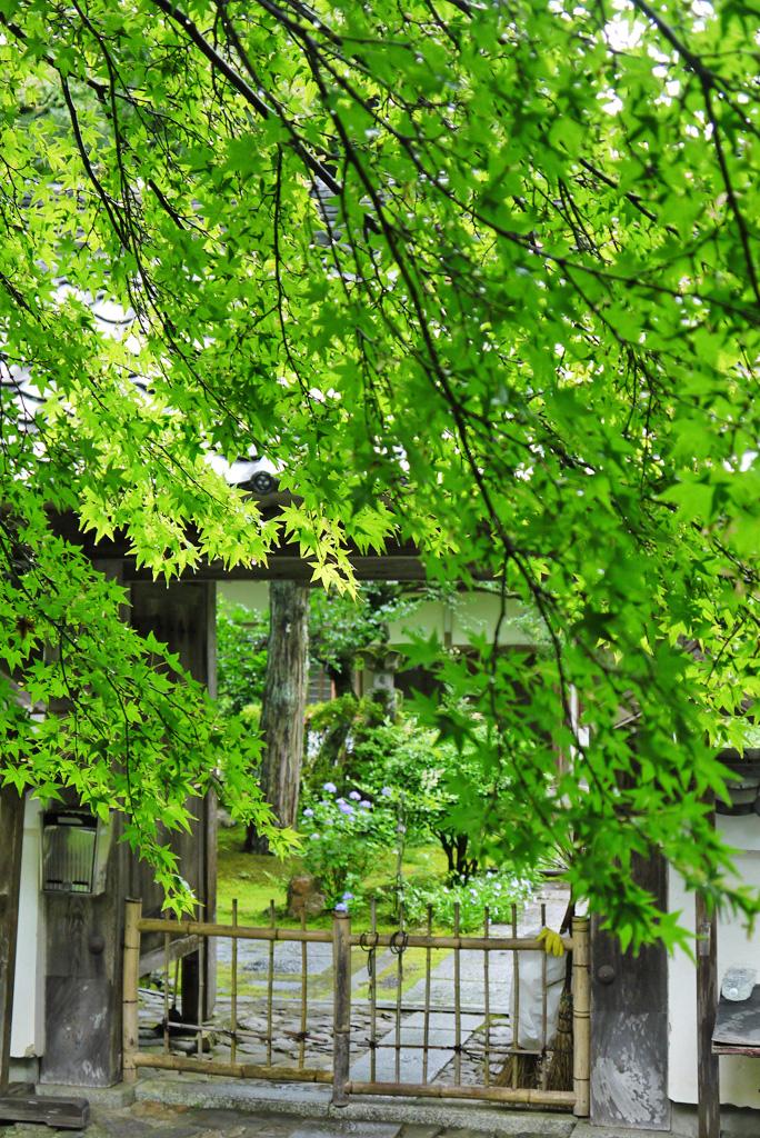 吟松寺の青もみじの写真素材