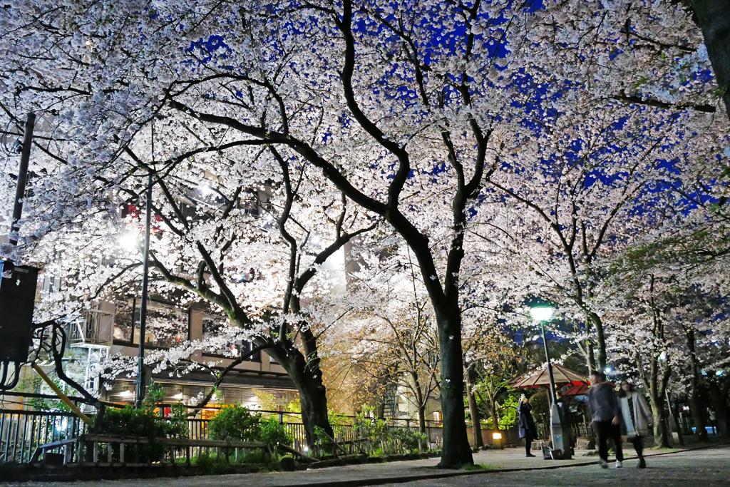 祇園白川の夜桜の写真素材