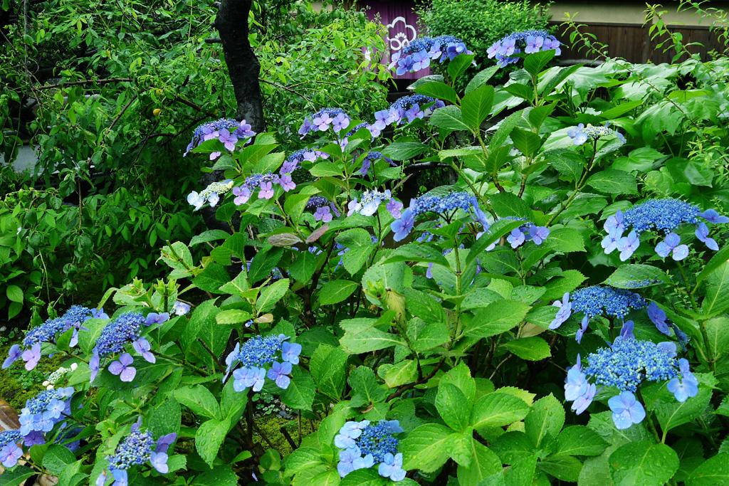 紫陽花 雨の祇園白川の写真素材