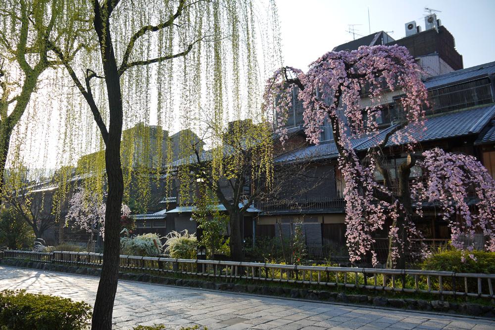 祇園白川の桜の写真素材