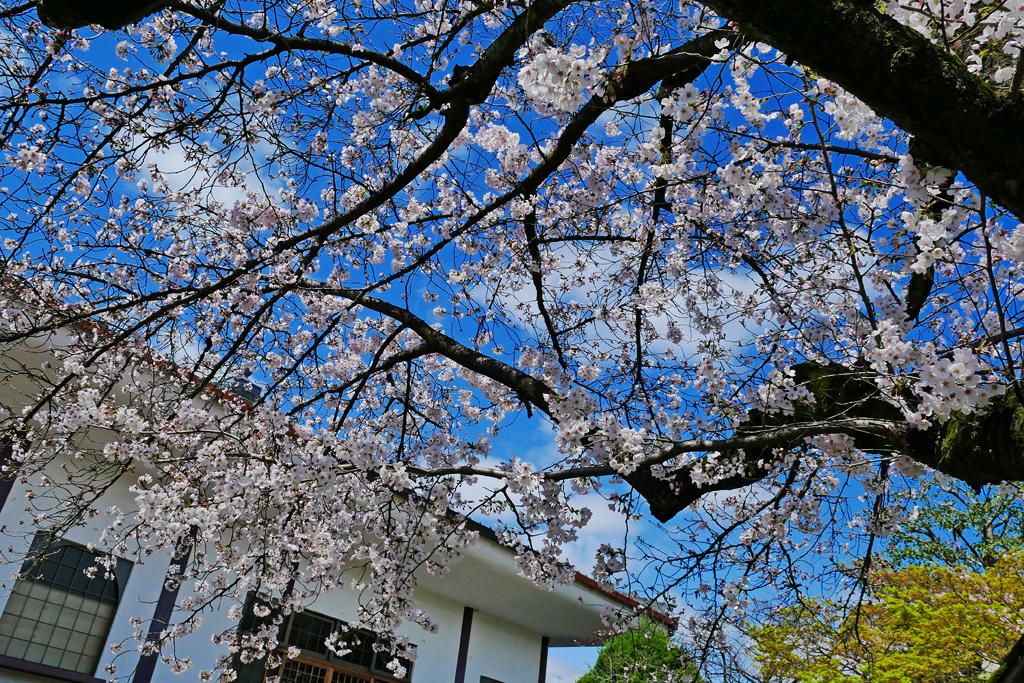欣浄寺の桜の写真素材