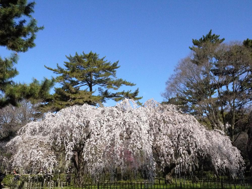京都御苑の桜の写真素材