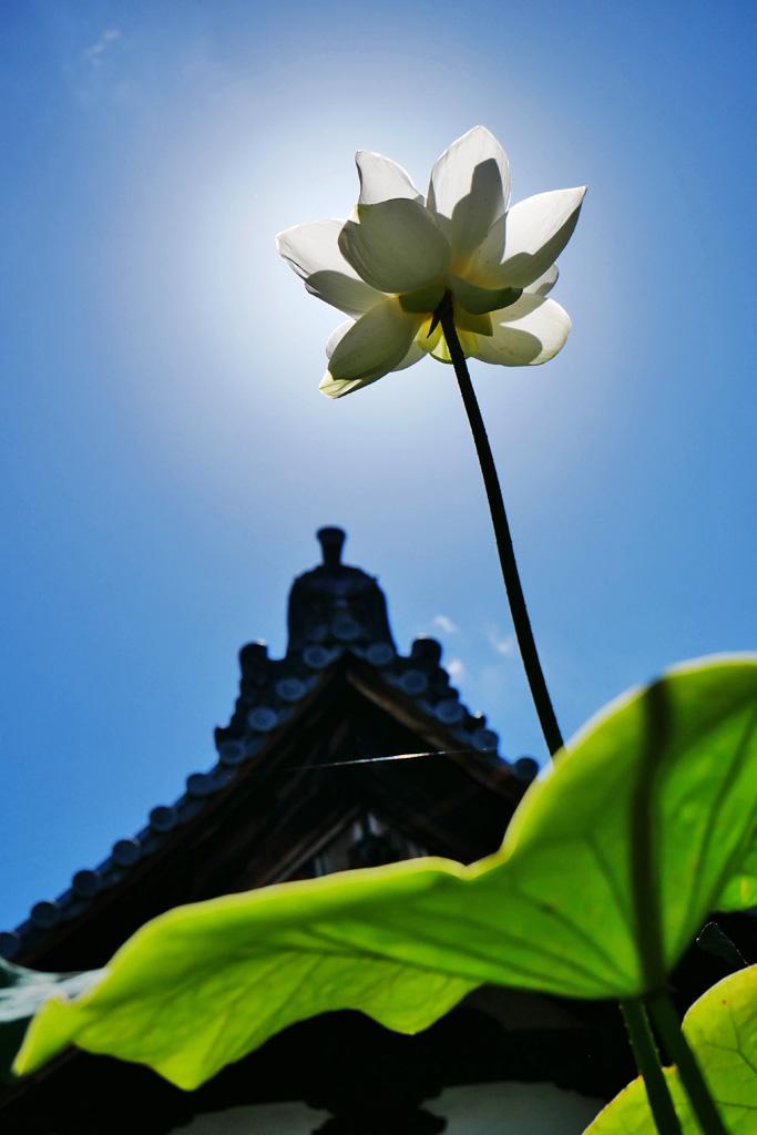 蓮の花 行願寺(革堂)の写真素材
