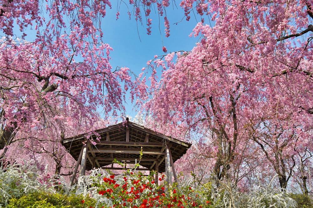 原谷苑の桜の写真素材