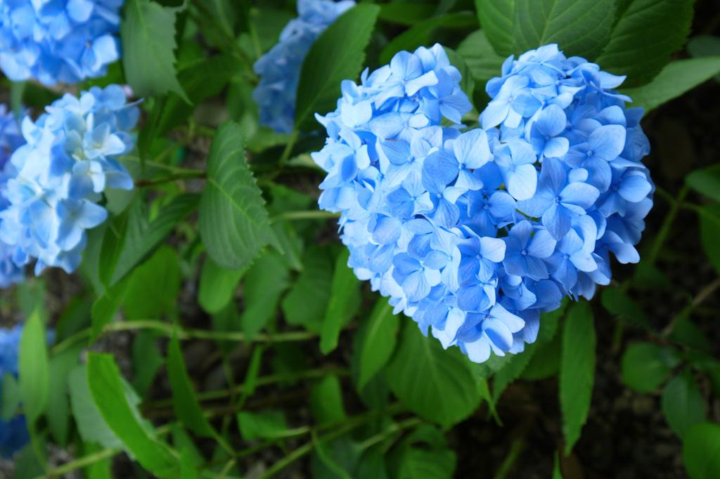 長福寺の紫陽花ハートの写真素材