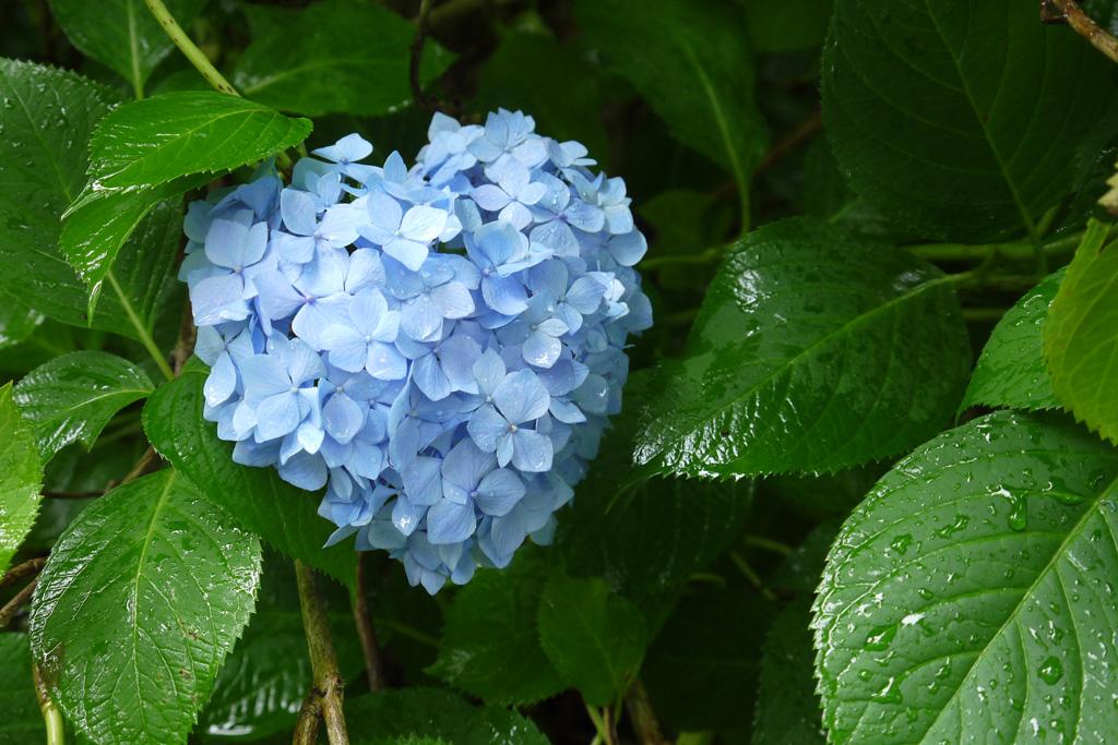 三室戸寺の紫陽花ハートの写真素材
