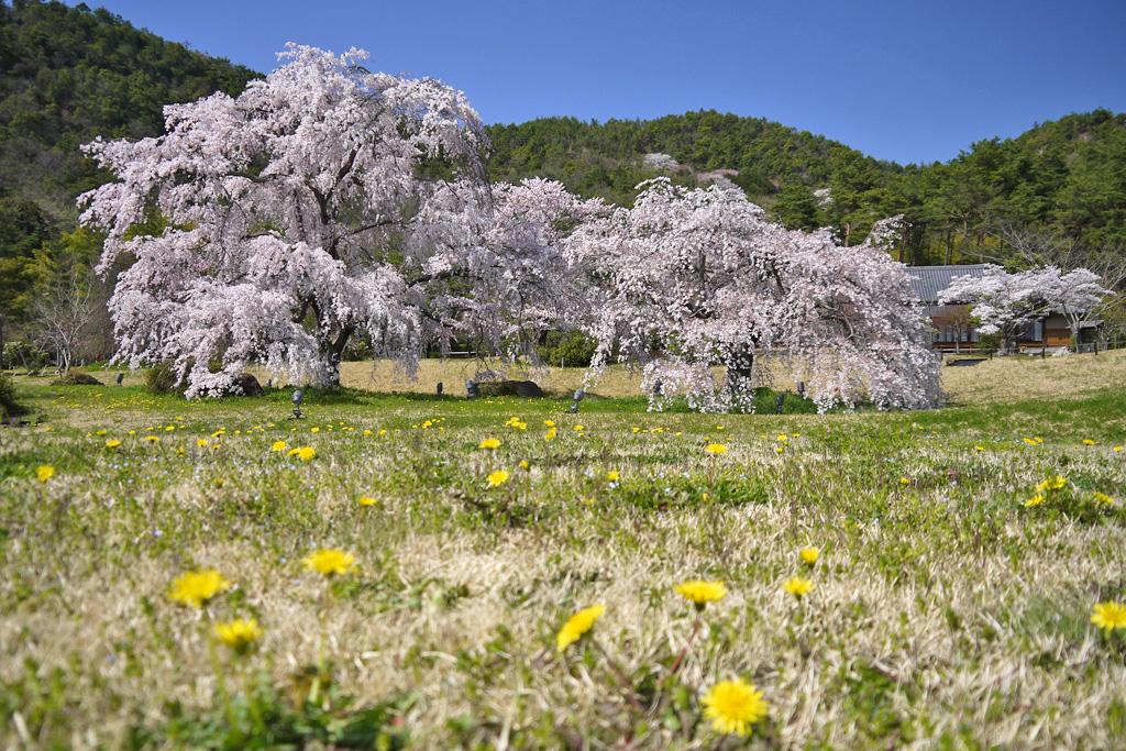 京都平安郷の桜の写真素材