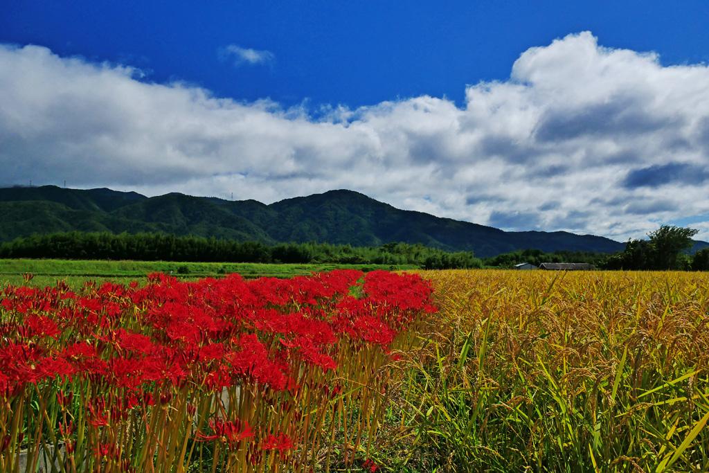 亀岡 彼岸花の里の写真素材