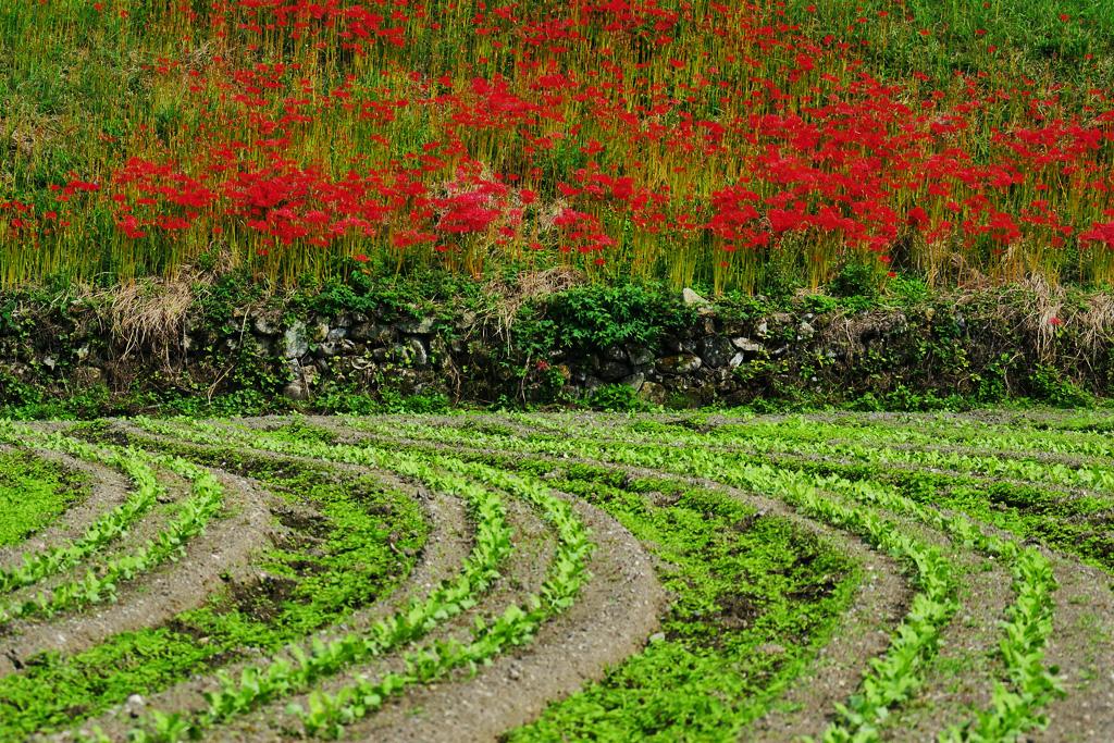 大原の彼岸花の写真素材