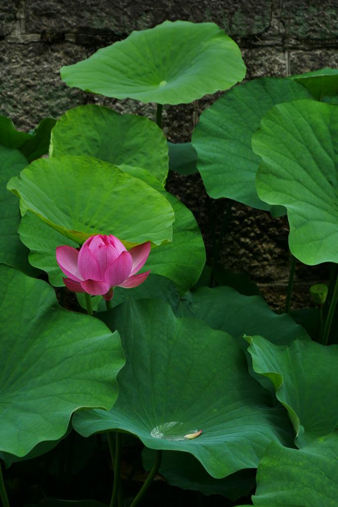 東本願寺の蓮の写真素材