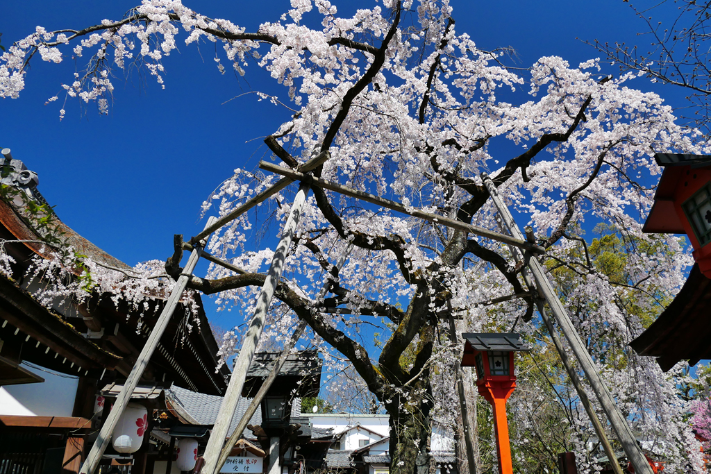 平野神社の魁桜の写真素材