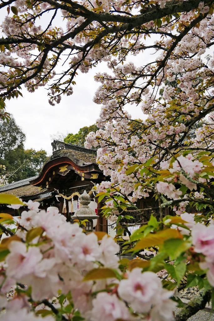 平野神社の桜の写真素材