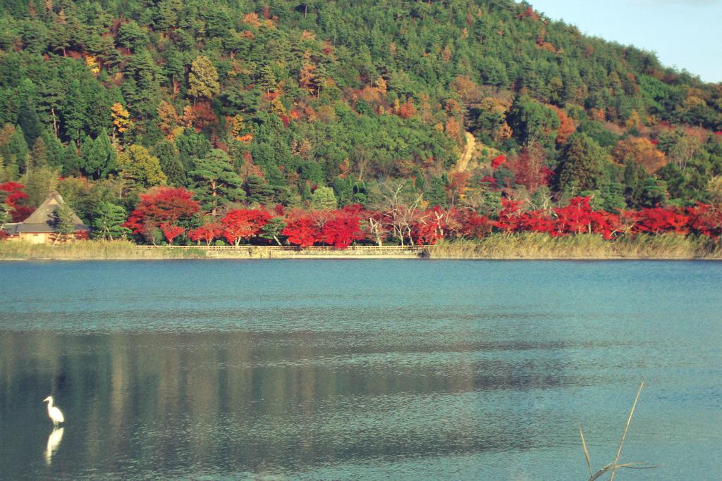 広沢池の紅葉の写真素材