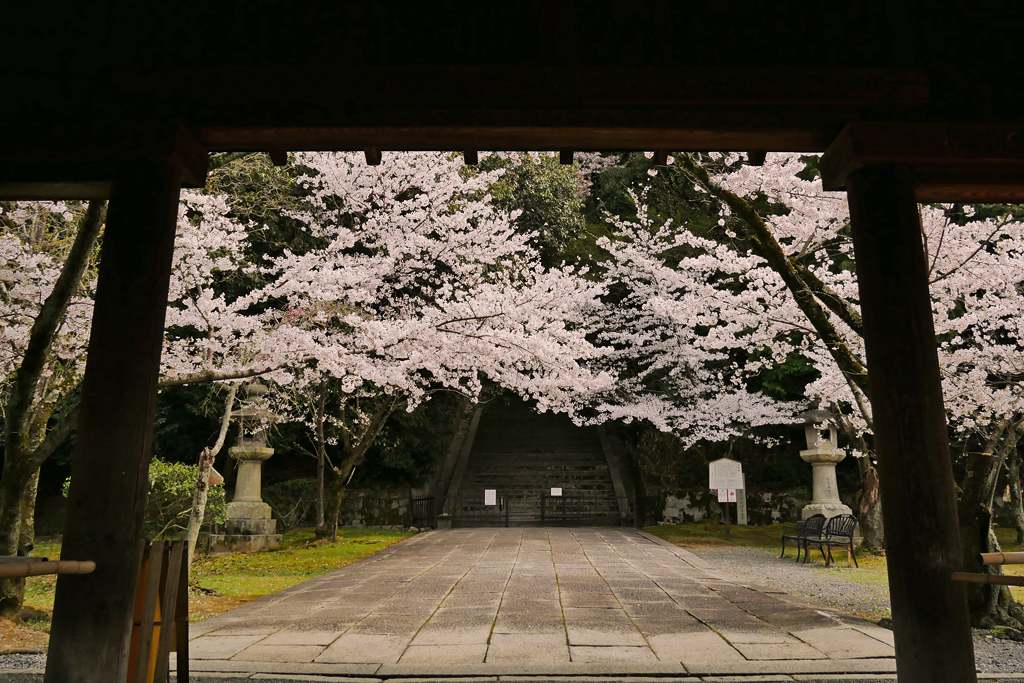 豊国廟の桜の写真素材
