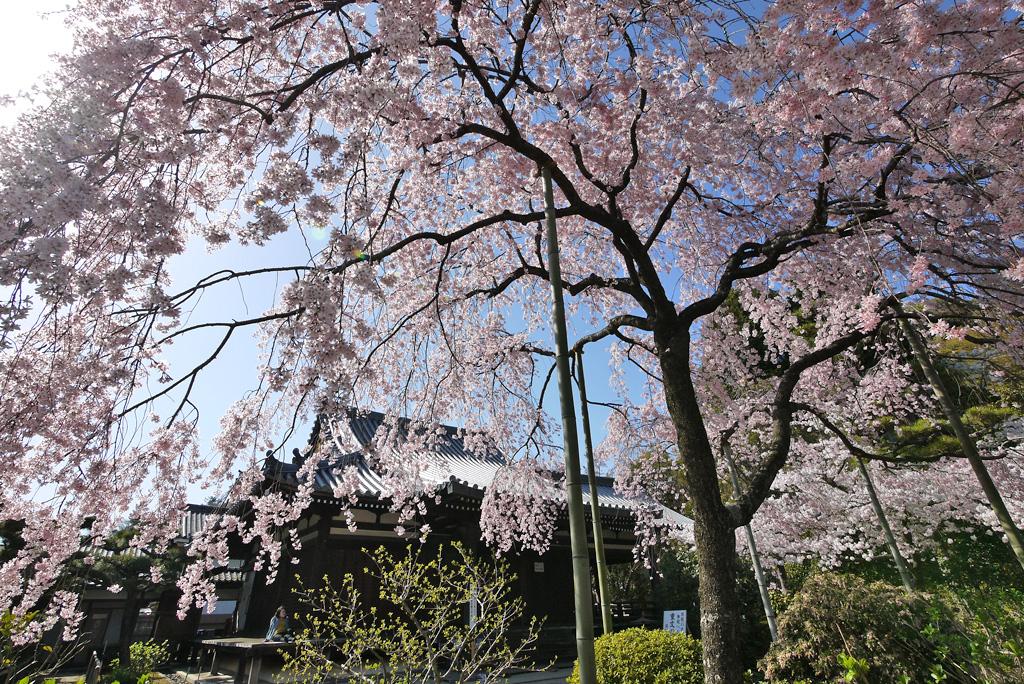 法金剛院の桜の写真素材