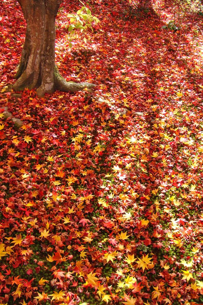 宝筐院の紅葉の写真素材