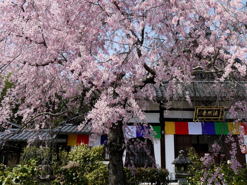 法然寺の枝垂桜