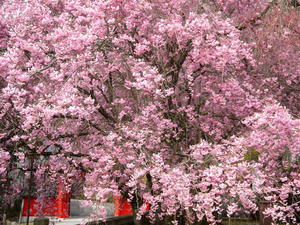 山科 本圀寺 紅枝垂桜の写真素材